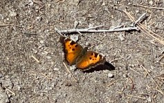 American Lady butterfly on the Cave Rock Trail.