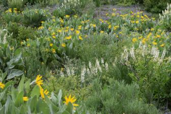 Fields of wildflowers on Monitor Pass