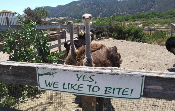 OstrichLand USA Buelton California ostrich feeding attraction
