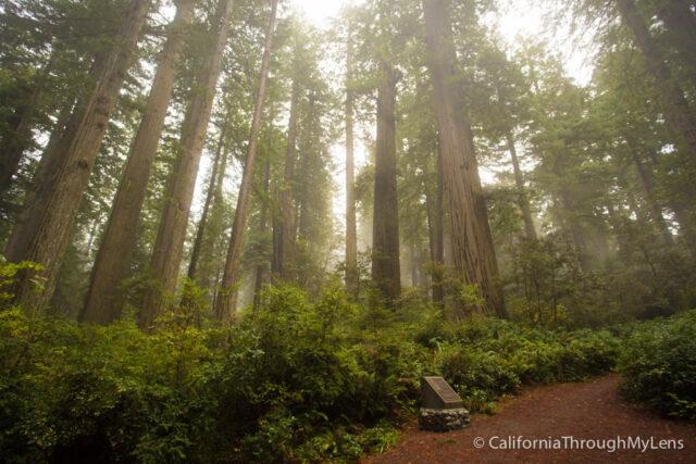 Lady Bird Johnson Grove In Redwoods National Park