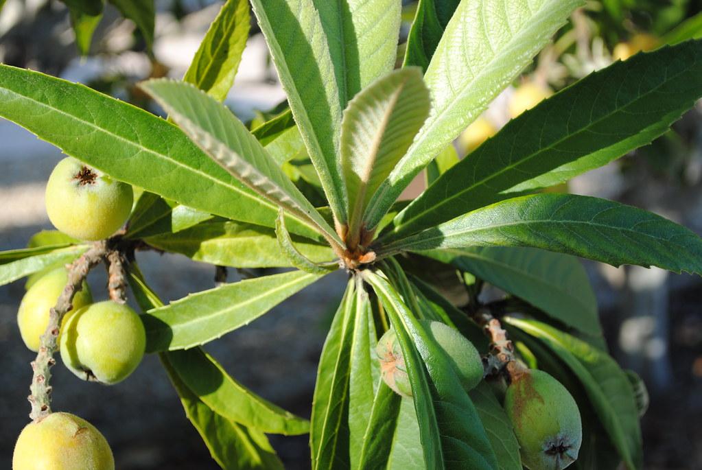 Loquats ripening on the tree