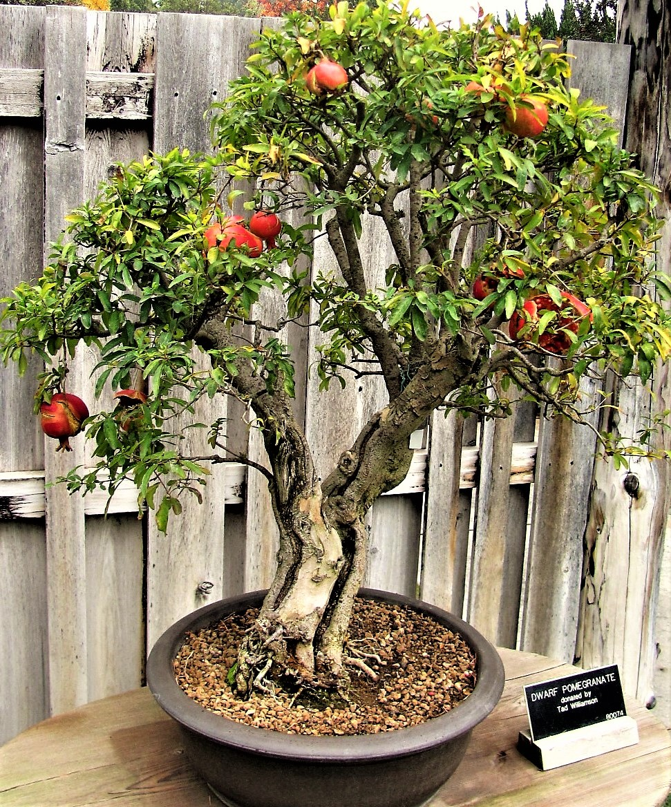 A pomegranate makes for an attractive patio fruit tree