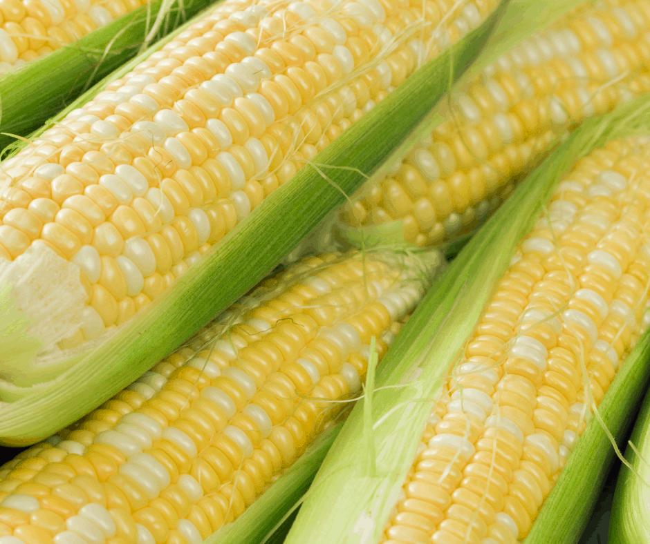 Freshly Picked Sweet Corn