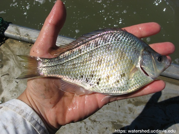 Tule perch, one of the native residents still found in parts of the Sacramento-San Joaquin Delta and the Suisun Marsh. Photo: UC Davis