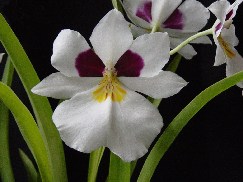 Miltoniopsis roezlii - 2003-06-05 at 04-03-00