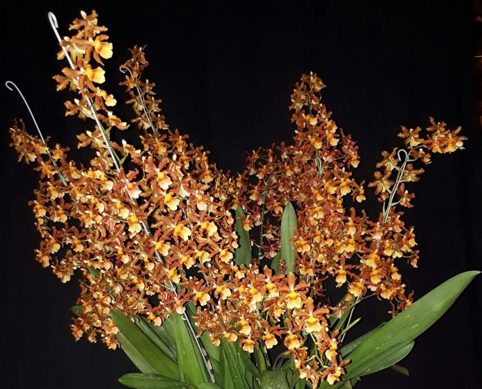 Oncidium Catatante 'Sonido Terrenal' de Beatriz de Escobar