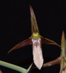 20135045 Catasetum tabulare 'Henry' - copia