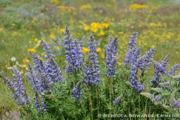Sevenmile Hill Wildflowers