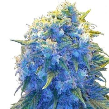 Blue Haze (fem)