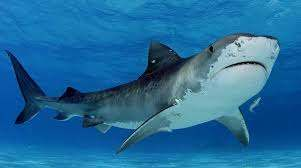 Shark Attacks—Not So Deadly After All | Callagy Law