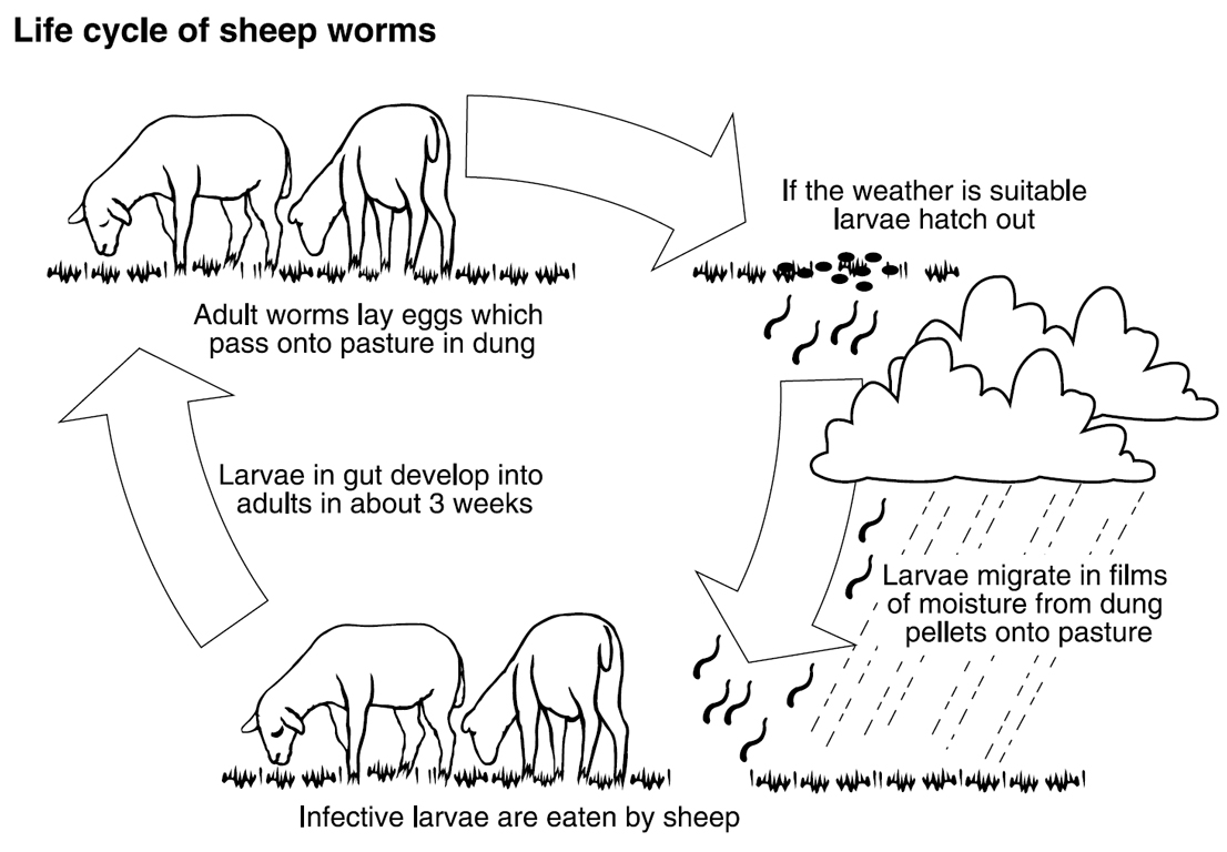 Barber Pole Worm Warning For Goat And Sheep Owners