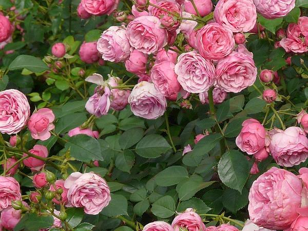 fleurs de rosier