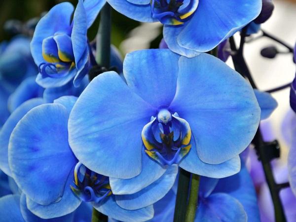 orchidée bleue