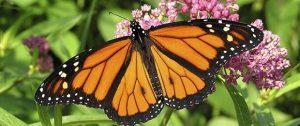blobid2 1519243138196 300x126 - La migración de la mariposa Monarca está por comenzar. ¡Ayudemos a estos polinizadores en su viaje!