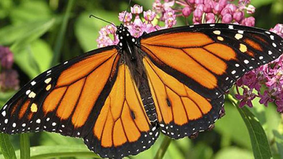 blobid - La migración de la mariposa Monarca está por comenzar. ¡Ayudemos a estos polinizadores en su viaje!