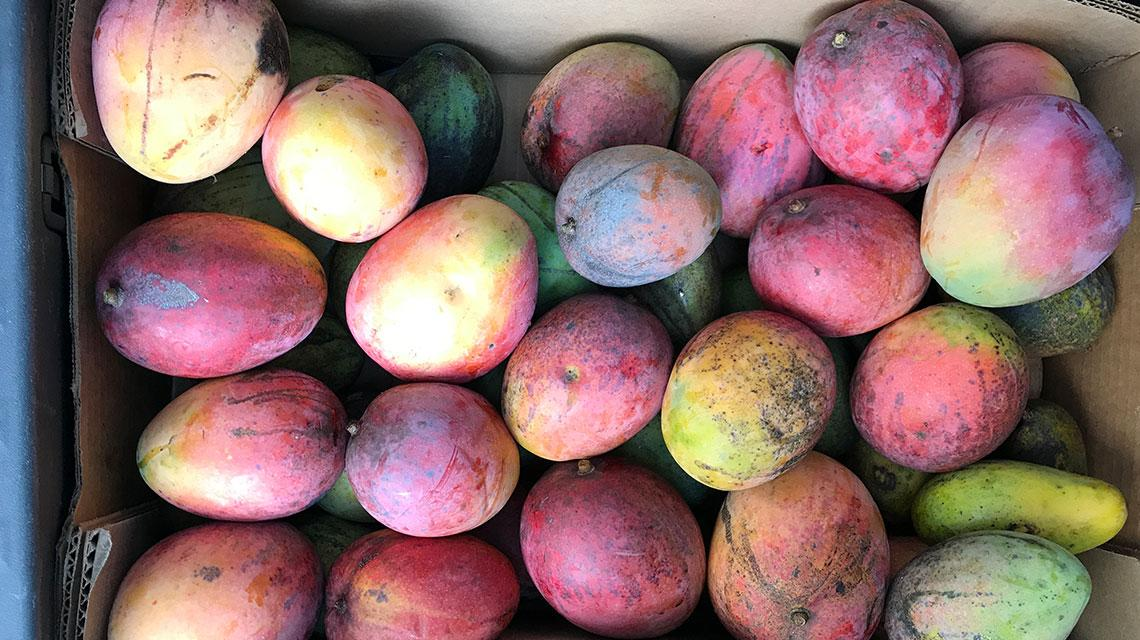 Variety of Mangos. South Beach Mango Festival