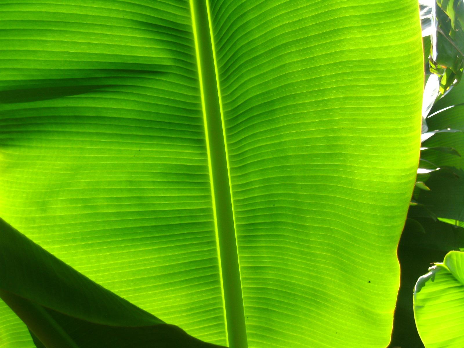 不是wallpaper,是菜園村美麗的蕉葉。