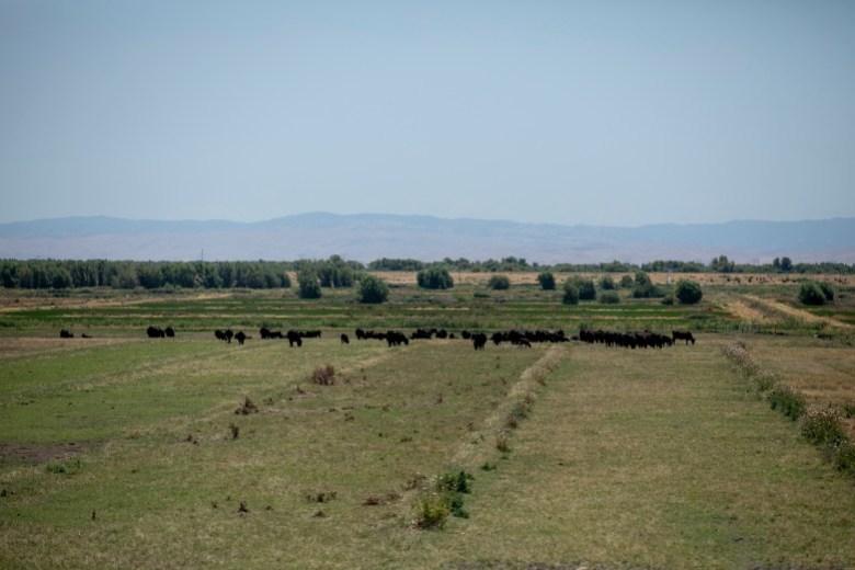 Las vacas pastan en un campo cerca del río San Joaquín en la isla Twitchell en el condado de Sacramento el 15 de junio de 2021. El estado ha notificado a unos 4.300 usuarios de agua de Fresno a Sacramento que dejen de desviar agua de la cuenca de los ríos San Joaquín y Sacramento. Foto de Anne Wernikoff, CalMatters