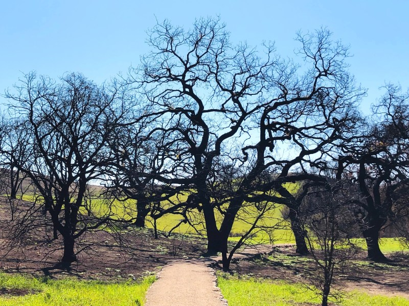 Signs of regrowth in Malibu Creek State Park, February 2019. Photo by Julie Cart/CALmatters