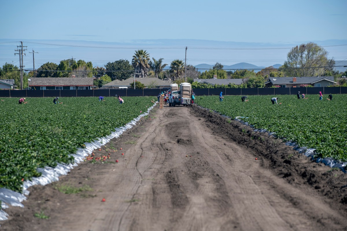Norcal harvesting fieldworkers pick strawberries early morning on March 31, 2020. Photo by David Rodriguez, The Salinas Californian