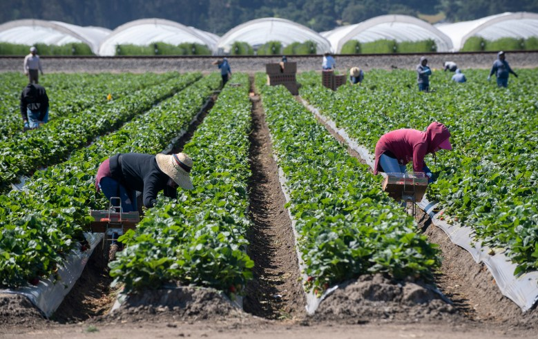 Farmworkers around the Watsonville community pick strawberries as the Watsonville Campesino Appreciation Caravan passes through on May 5, 2020. Photo by David Rodriguez, The Salinas Californian