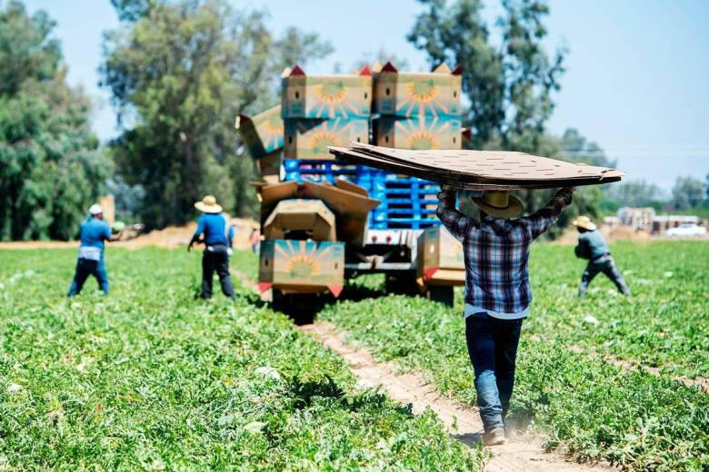 Watermelons are harvested from farmland near the intersections of Green Sands Avenue and Gurr Road in Atwater, on Thursday, August 6, 2020. Photo by Andrew Kuhn, Merced Sun-Star