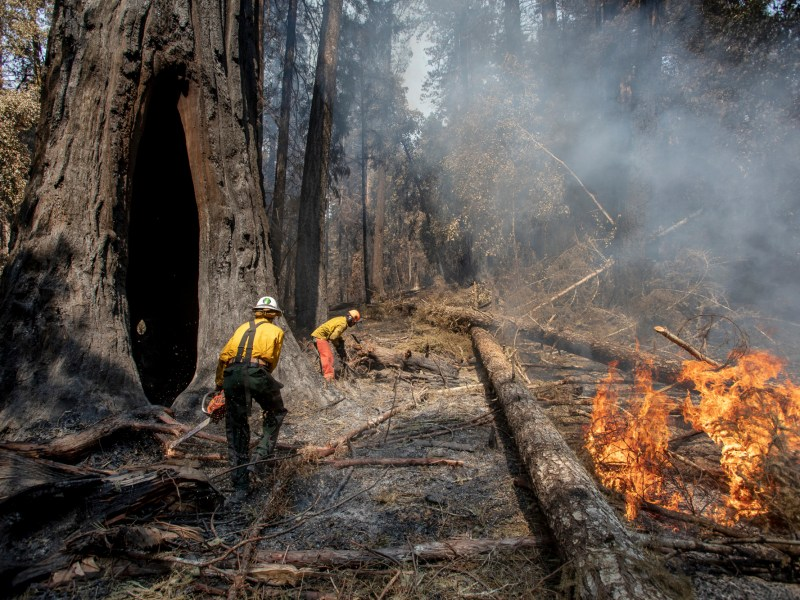 Will Christianson and Jason Vincent clear away fallen brush from around the base of the Mother of the Forest redwood as hot spots from the CZU Complex fire continue burning in Big Basin Redwoods State Park on Aug., 28, 2020. Photo by Karl Mondon, Bay Area News Group