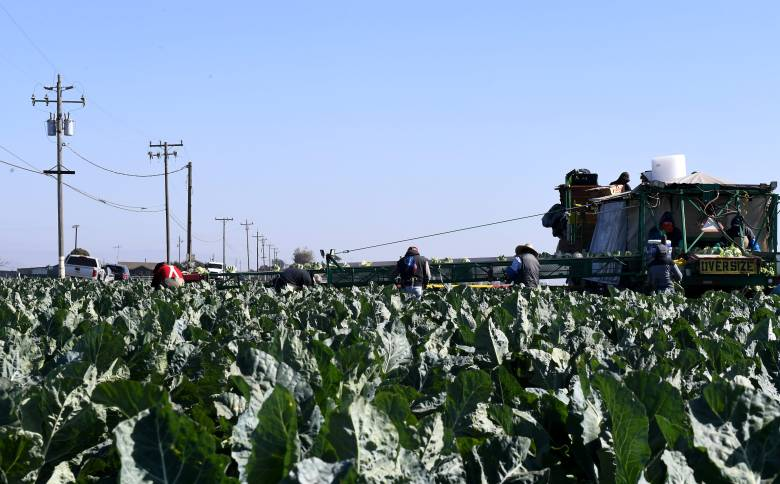 Domestic farmworkers pick and pack cauliflower. Photo by Kate Cimini, The Salinas Californian