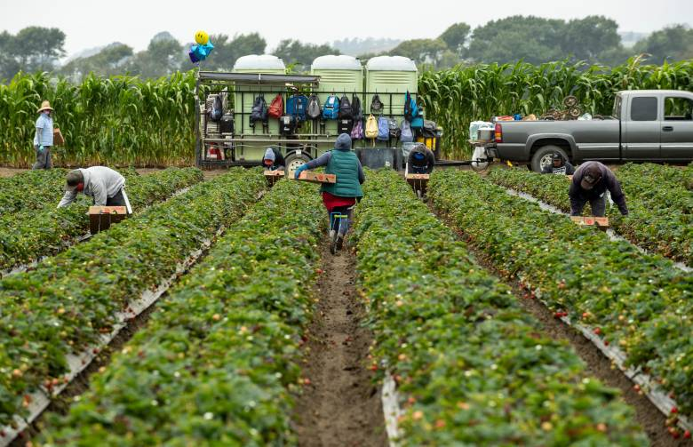 Farmworkers pick strawberries in Watsonville, as their backpacks hang nearby behind three portable restrooms. Photo by David Rodriguez, The Salinas Californian
