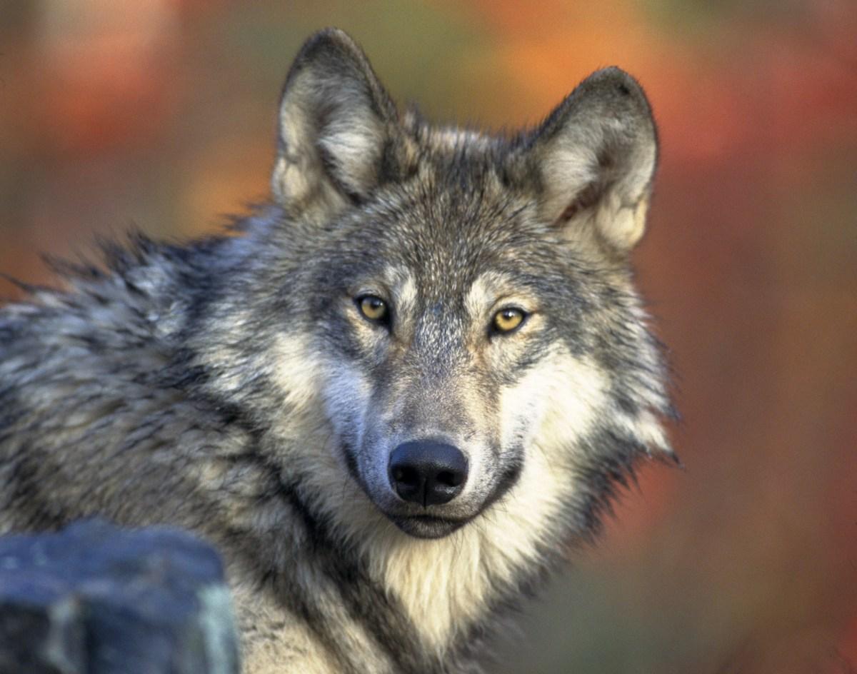 Lobo gris, Canis lupus. Foto vía Gary Kramer, USFWS