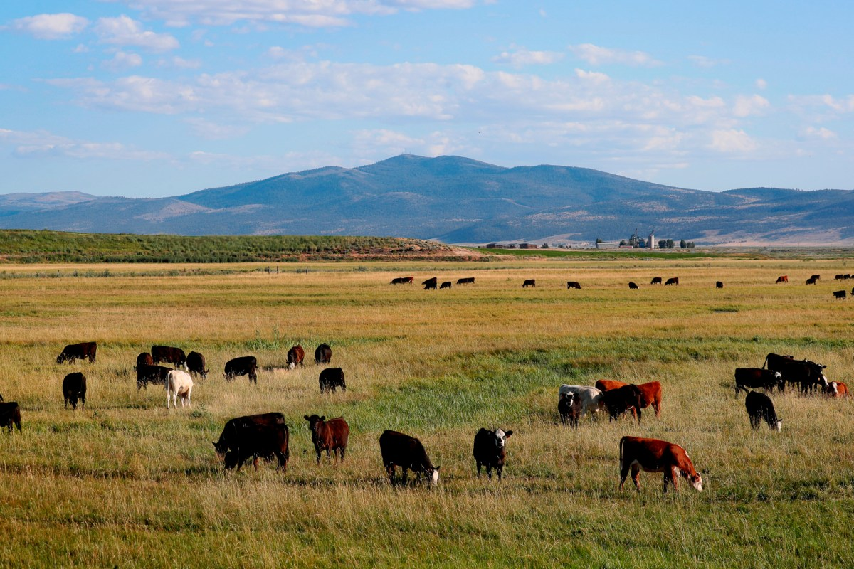 Cattle graze in Modoc County south of Alturas where cattle outnumber humans 4-1 on Wednesday, July 8, 2020. Without Devil's Garden, fires will burn longer as firefighting crews will have to travel more than 100 miles to reach the area. Photo by Karl Mondon, Bay Area News Group