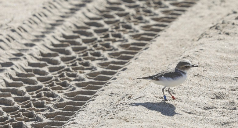 A Western Snowy Plover walks near tire tracks at Oceano Dunes on Dec. 21, 2017. The speed limit near the plover habitat is marked at 15 MPH, intended to give the birds time to evade vehicles. Photo by David Middlecamp, San Luis Obispo Tribune