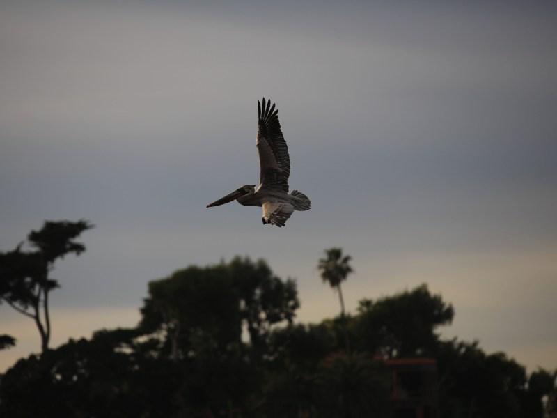 A pelican flies through the air above Malibu Lagoon on Jan. 12, 21. Photo by Shae Hammond for CalMatters