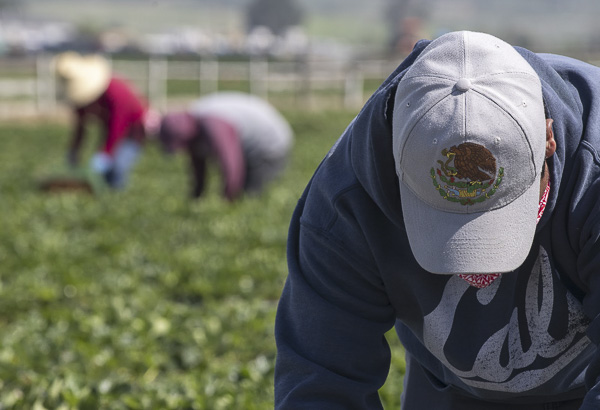 A fieldworker wearing a hat with the golden eagle, the official bird of Mexico, as he uses it to shield his face from the sun while he picks strawberries on April 25, 2020. Photo by David Rodriguez, The Salinas Californian