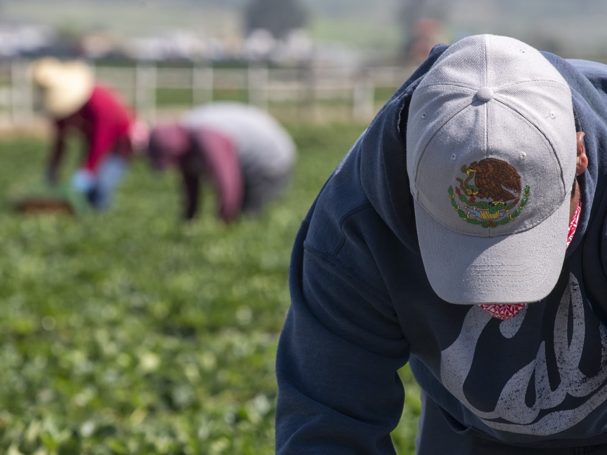 A fieldworker wearing a hat with the golden eagle, the official bird of Mexico, as he uses it to shield his face from the sun while he picks strawberries on Saturday, April 25, 2020. Photo by David Rodriguez, The Salinas Californian