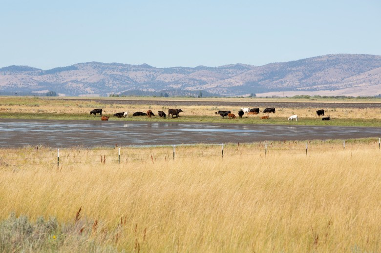 Cows graze dry grass outside of Bieber, a small town in Lassen County, in July 2019. In response to increased drought risk, farmers and ranchers in all 58 California counties will become eligible for loans to assist with loss of crops, trees, land and livestock. Photo by Anne Wernikoff, CalMatters