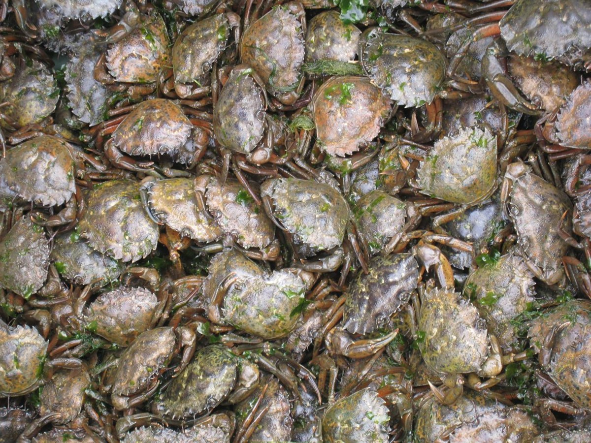 Close up view of a bin of green crabs pulled from a single trap. In some cases there can be close to 100 crabs per trap in years of very high numbers. Photo courtesy of Ted Grosholz