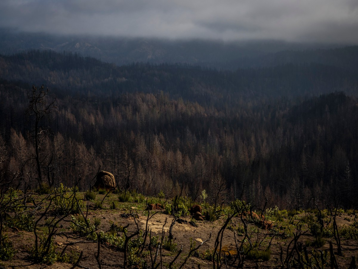 A view of Big Basin Redwoods State Park in Boulder Creek on April 22, 2021. Most of the park burned in 2020's CZU Complex wildfire. Photo by Max Whittaker courtesy of Save the Redwoods League