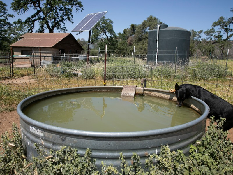 A ranch dog drinks from the well with a solar panel and water storage tank seen in the background. Brown has attempted to make her ranch as sustainable is possible. Photo by Anne Wernikoff, CalMatters