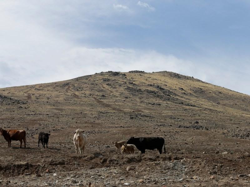 Cattle, graze on a barren hillside in Tulare County outside of Porterville on July 2, 2015. Photp bu Gregory Bull, AP Photo