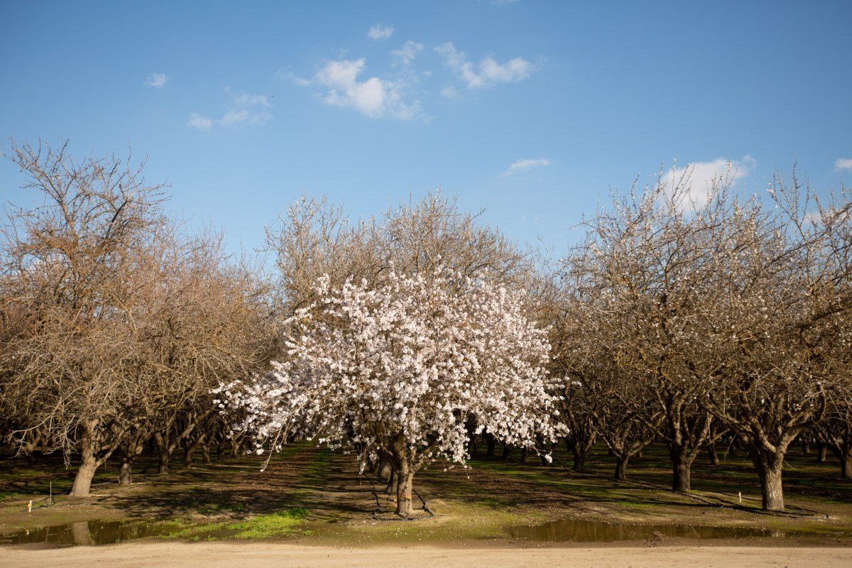 Water-intensive crops such as almonds belong in California even amid drought, according to California's top agriculture official. Photo by Shae Hammond for CalMatters