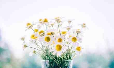 La pâquerette : comment utiliser les plantes de votre jardin