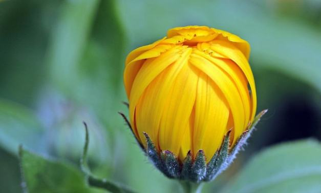 Calendula : how to use your garden plants #2