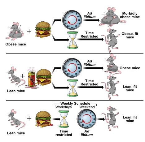 Image depicting animal study on time restricted eating in mice, from CALMERme.com