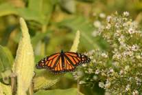 The image shows a monarch butterfly resting on native milkweed, as described in this post about native plants on CALMERme.com
