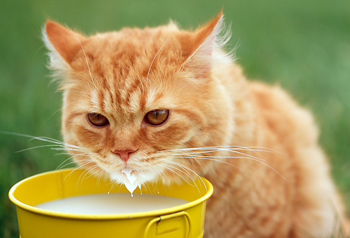 Image of cat drinking milk indicating lactose intolerance in mammals from CALMERme.com