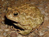 Great Plains toad, Bufo cognatus