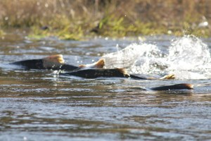 Chinook salmon are among the priorities for a joint restoration project between the CDFW and NOAA. (DAN COX/USFWS)