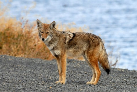 Several incidents with coyotes in Southern California prompted a warning from the California Department of Fish and Wildlife to use caution and common sense. (USFWS)