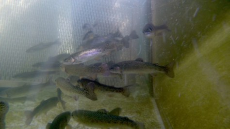 American River Hatchery suffered a die-off about 155,000 trout. (CDFW)